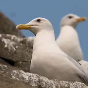 Herring Gull adults in rookery, Nunavut, Canada