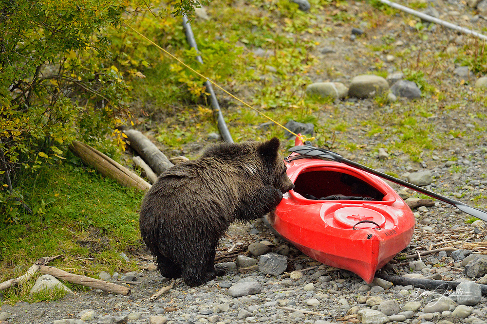 Grizzly bear (Ursus arctos)- Exploring around docks and boats on a salmon river, Chilcotin Wilderness, BC Interior, Canada