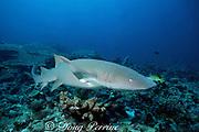 tawny nurse shark, Nebrius ferrugineus, Similan Islands, Thailand ( Indian Ocean )
