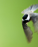 Black-capped Chickadee. Image taken with a Nikon D850 camera and 600 mm f/4 VR lens.