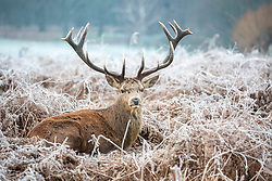 © Licensed to London News Pictures. 31/12/2020. London, UK. A stag enjoys a frosty morning in Richmond Park, South West London on the last day of the year as the country sees freezing temperatures throughout the UK. The Met office has issued a yellow weather warning for snow in the South East today with the North taking the brunt of the heavy snow falls in the last few days. Yesterday, Downing Street ordered most of the UK into tier 4 Covid restrictions as the coronavirus pandemic crisis continues into 2021. Photo credit: Alex Lentati/LNP
