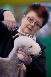 © London News Pictures. 07/03/2013. Birmingham, UK. Mary Godden trimming Barney the Beddington Terrier on day one of Crufts at the Birmingham NEC Arena on March, 07, 2013 in Birmingham, England.  Crufts, which is the largest annual dog show in the world, hosts over 20,000 dogs and owners who compete in a variety of categories. Photo credit : Ben Cawthra/LNP