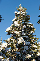 Snow on fir tree branch,  Gabriola , British Columbia, Canada