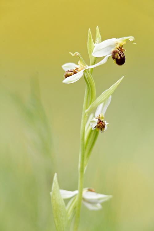 Bee Orchid_Ophrys apifera (Orchidacea), Chauriat; Puy de Pileyre; Auvergne, France