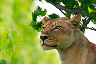 Lioness portrait in the shade of riverine forest along the Chobe River, Chobe National Park, Botswana. Low angel view. © David A. Ponton