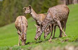 THEMENBILD - Hirschkuehe im Wildpark Ferleiten, aufgenommen am 29. April 2018 in Taxenbacher-Fusch, Österreich // female Roe Deers at the Wildlife Park, Taxenbacher-Fusch, Austria on 2018/04/29. EXPA Pictures © 2018, PhotoCredit: EXPA/ JFK