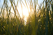 Westduinpark, Den Haag, Nederland - 21 juni 2021: Helmgras in de duinen tijdens de zonsondergang.| Westduinpark, The Hague, Netherlands - June 21, 2021: Marram grass in the dunes during the sunset