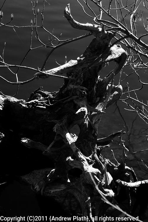 Curving tree roots look like antlers.