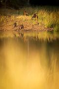 View of Sambar Deer family by lake, Tadoba National park, India