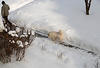 Bialystok, 09.02.2021. Nieskuteczna walka ze sniegiem w Bialymstoku. Firmy, ktore wygraly przetarg na odsniezanie miasta w tym roku, nie wywiazuja sie ze swoich obowiazkow. Glowne ulice stolicy Podlasia od kilku dni pokrywa gruba warstwa lodu i sniegu. Miasto juz po raz drugi nalozylo kary na nierzetelne firmy. N/z pies rasy samojed na spacerze fot Michal Kosc / AGENCJA WSCHOD