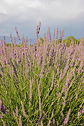 Vertical of lavender plant in July
