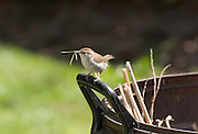 An adult bewick's wren (Thryomanes bewickii) with an insect on the handle of a backyard yard debris can. Western Oregon.
