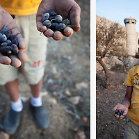 A boy gathers olives next to the separation barrier in the Aida refugee camp near Bethlehem, West Bank. The oil pressed from these olives is for his family's use.