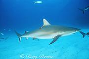 Caribbean reef shark, Carcharhinus perezi, with research tag, Walker's Cay, Abaco Islands, Bahamas ( Western Atlantic Ocean )