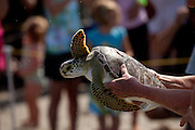 Rehabilitated green sea turtles released back to the ocean by the Turtle Rescue Team of the South Carolina Aquarium on the Isle of Palms, SC.