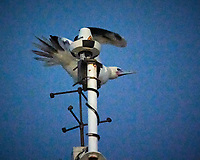 Masked Booby on the Mast at Dawn. Image taken with a Nikon N1V3 camera and 70-300 mm VR lens (ISO 6400, 300 mm, f/6.3, 1/60 sec).