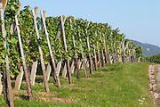 vineyard domaine g humbrecht pfaffenheim alsace france