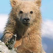 Alaskan Brown Bear (Ursus middendorffi) cub resting on driftwood during late spring. Katmai National Park, Alaska