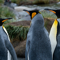 Three king penguins in a massive breeding colony at Gold Harbour on South Georgia Island.
