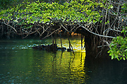 Red Mangrove (Rhizophora mangle)<br /> Black Turtle Cove, Isanta Cruz Island<br /> Galapagos<br /> Ecuador, South America