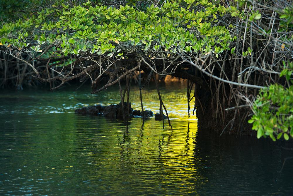Red Mangrove (Rhizophora mangle)<br /> Black Turtle Cove, Isanta Cruz Island<br /> Galapagos<br /> Ecuador, South America