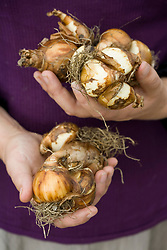 Hands holding narcissus bulbs