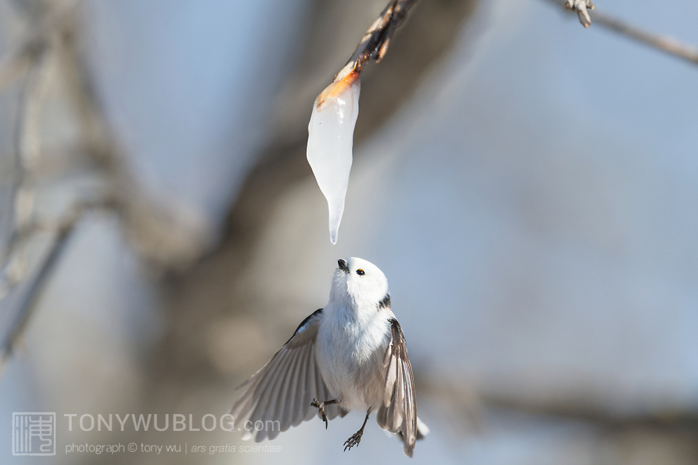 This is a long-tailed tit (Aegithalos caudatus) hovering in front of an icicle formed from the sap of a painted maple tree (Acer pictum). During winter months, small birds like this make use of this calorie-rich food source (essentially frozen maple syrup) to fuel their high metabolisms. The birds fly to an icicle, hover, break off a piece and fly away, all in the blink of eye. This is a delicate operation. Sometimes the birds fail to break off a piece, as seen in this series of four photographs. Image 4 in a sequence of 4.