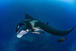 Giant Manta, Manta birostris, San Benidicto, Revillagigedo Islands, Mexico, Pacific Ocean