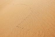 Animal track in desert sand, Sahara desert, Morocco.