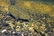 Smallmouth Bass (male guarding nest with eggs)<br /> <br /> Engbretson Underwater Photo