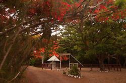 "Flamboyant ""Christmas"" Tree (Delonix regia) Over Horse Corral, Turtle Island, Yasawa Islands, Fiji"