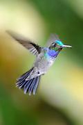 SOLD OUT<br /> <br /> -<br /> <br /> Amazalia Pechiazul / colibríes de Panamá.<br /> <br /> Blue-chested Hummingbird / hummingbirds of Panama.<br /> <br /> Amazalia amabilis.<br /> <br /> Edición de 10   Víctor Santamaría.