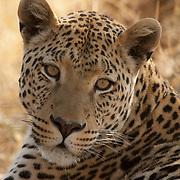 Portrait of a leopard (Panthera pardus). Kenya, Africa