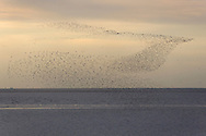 Wader Flock - The Wash, Norfolk