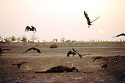 Vultures pick away at a carcass of a dead cow on the dry floodplain of the Niger River in the W. African village of Kouakourou, Mali. Material World Project.