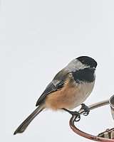 Black-capped Chickadee (Poecile atricapillus).Image taken with a Nikon D850 camera and 500 mm f/4 VR lens.