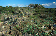 Mediterranean Garrigue Habitat