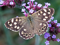 Speckled Wood - Pararge aegeria - Cheshire, September