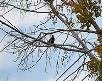 Golden Eagle (Aquila chrysaetos). Arapaho National Wildlife Refuge, Colorado. Image taken with a Nikon D700 camera and 80-400 mm VR lens.