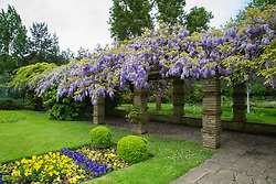 Wisteria blooms at Wells Hall Pleasuance Gardens in Eltham, south London.May 13 2018.