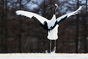 The complex and rhythmic dance of a Japanese red-crowned crane (Grus japonensis),  Tsurui, Hokkaido, Japan