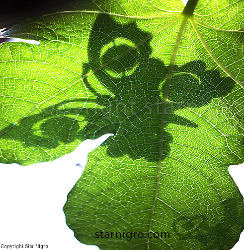 Butterfly Shadow on Fig leaf color digital <br /> <br /> photo by Star Nigro<br /> <br /> ©2021 All artwork is the property of STAR NIGRO.  Reproduction is strictly prohibited.
