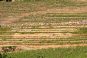 The unusual terraced vineyard with stone walls Chateau de Pressac St Etienne de Lisse Saint Emilion Bordeaux Gironde Aquitaine France