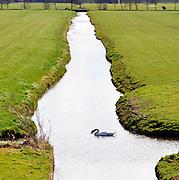 Nederland, Kinderdijk, 30-3-2016 Een zwaan in het water in een sloot tussen twee weilanden  . Zwanen kiezen een partner voor het leven . Foto: Flip Franssen/Hollandse Hoogte