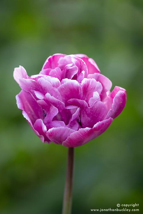 Tulipa 'Rosy Diamond'