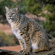 Bobcat (Lynx rufus) portrait of an adult in Utah.  Captive Animal.