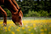 A horse grazes in a pasture covered in yellow buttercups.