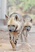 Israel, Aravah, The Yotvata Hai-Bar Nature Reserve breeding and reacclimation centre. striped hyena (Hyaena hyaena)