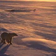 Polar Bear (Ursus maritimus) in Churchill, Manitoba, Canada.