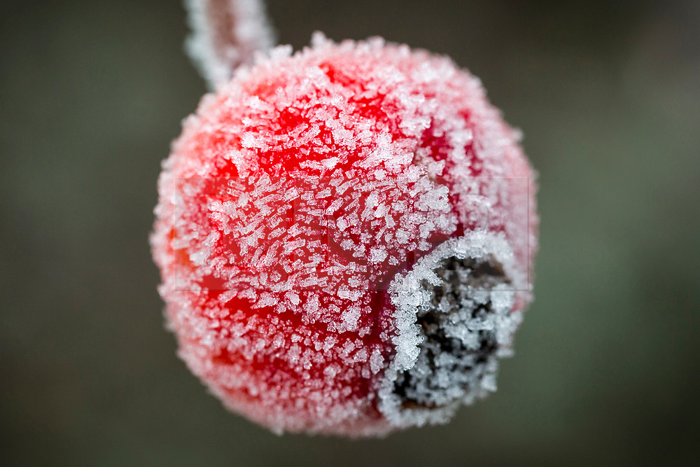 © Licensed to London News Pictures. 31/01/2019. Leeds UK. The bud of a flower is covered in frost this morning at Temple Newsam walled garden in Leeds after the coldest night of the year. Photo credit: Andrew McCaren/LNP